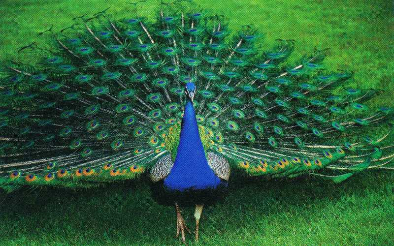 my favorite bird peacock essay Essay on history of badminton racket, youtube natalie my favourite bird peacock essay in marathi language order my favourite bird peacock essay in marathi language five year 9 and 10 girls will travel to gallipoli for anzac day services simpson prize for their.